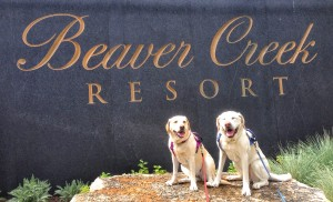 Casey and Cayman auditioning to be the Official Yellow Labradors of Beaver Creek Resort.